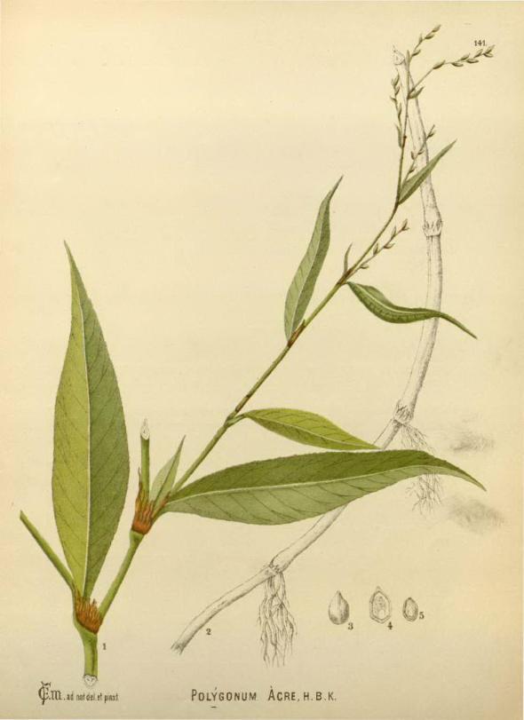 dessin: planche  de botanique  ancienne
