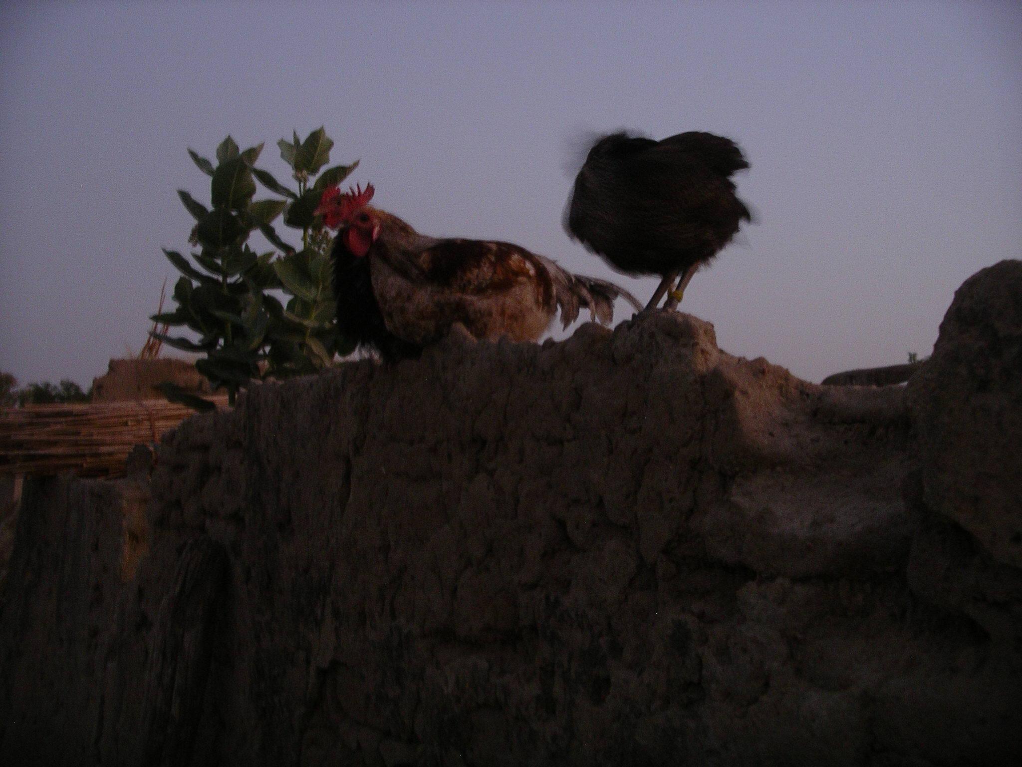 "photo perso:  coq ""de garde"", chez un guérisseur .  Burkina Faso dec 2011"