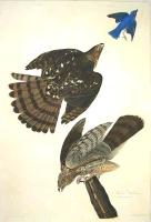 Audubon, Stanley Hawk.jpg