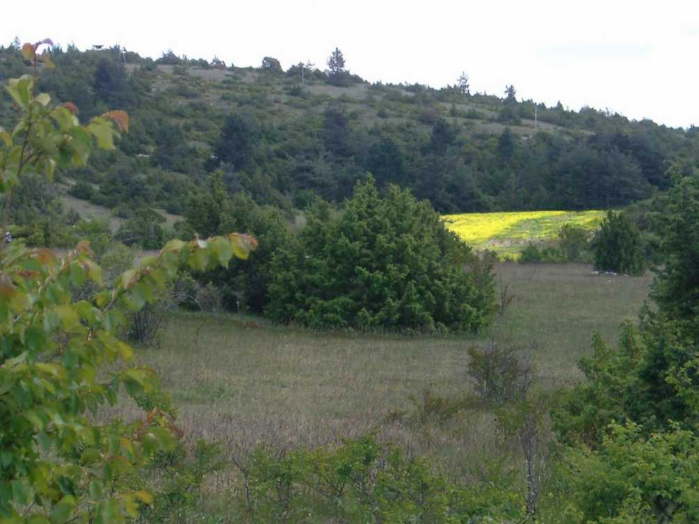 photo perso - colza en doline ( Lozère)