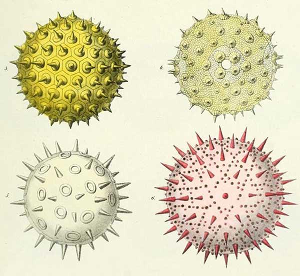 image  Ernst Haeckel:  pollens
