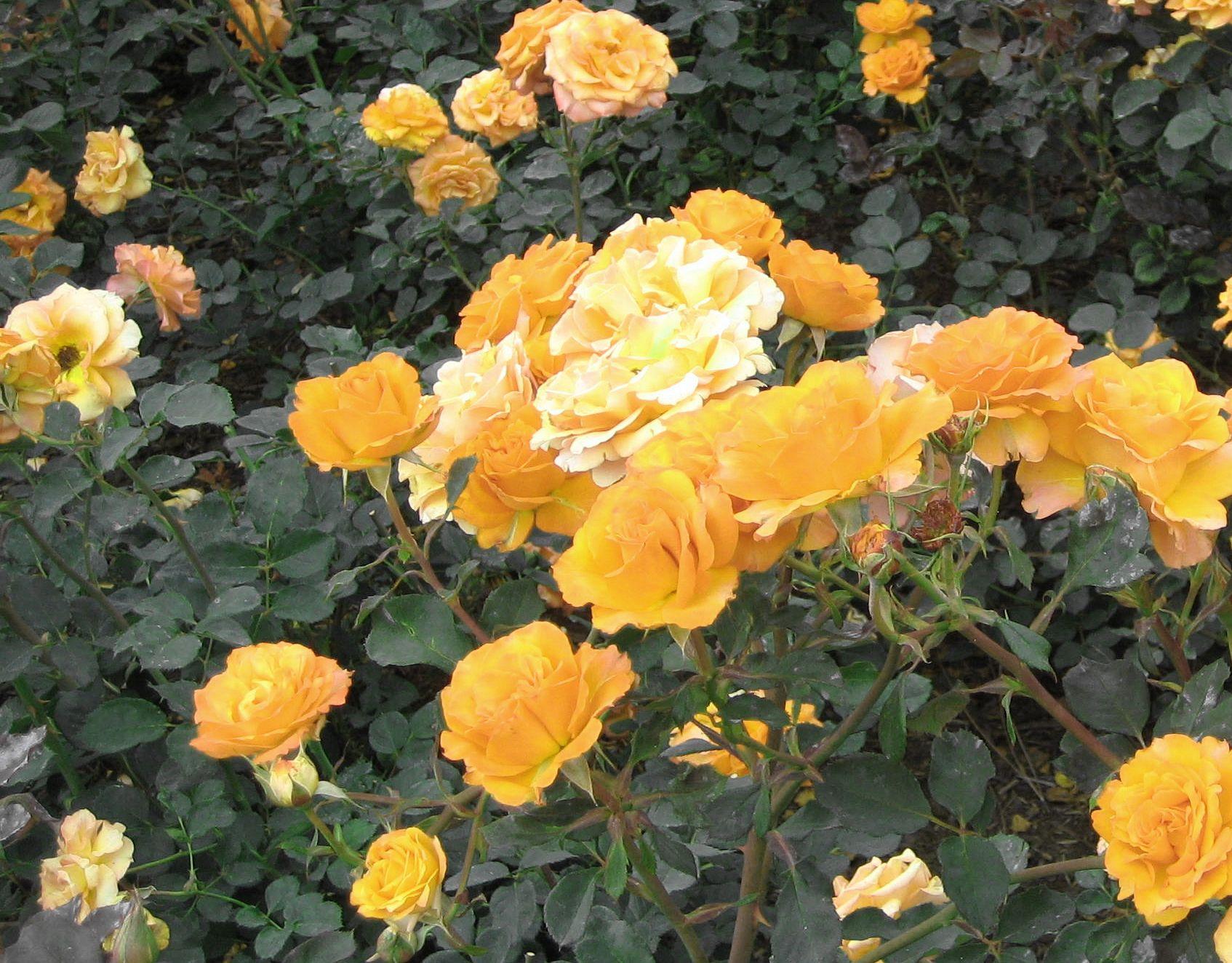tching    rosegarden.jpg