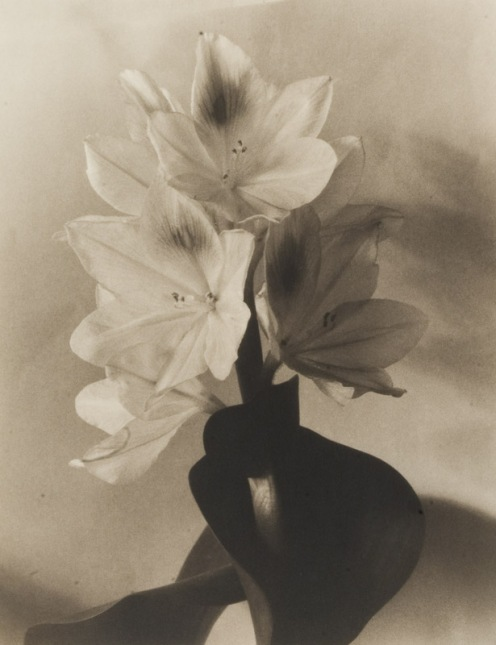 Blossom of Water Hyacinth 2, late 1920's