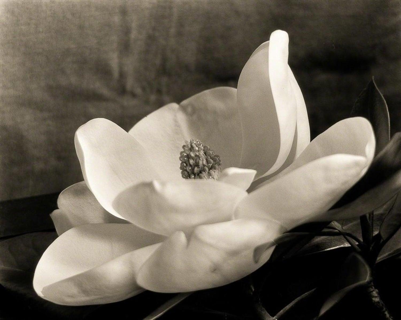 first_magnolia_imogen_cunningham_weston_gallery_carmel_master