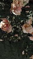 roses ouvertes 09 tt r01