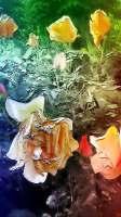 roses ouvertes mv —04