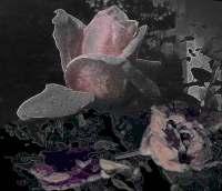 roses ouvertes ven03